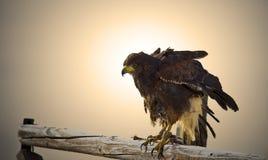 Rot angebundener Falke bei Sonnenuntergang Stockbild