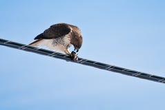 Rot-Angebundener Falke, der auf Fang speist Stockbilder