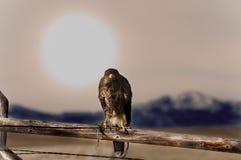 Rot angebundener Falke, der auf Zaun sitzt Stockfoto