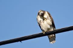 Rot-Angebundener Falke, der ein Jucken löscht Lizenzfreies Stockbild