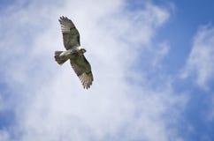 Rot-Angebundener Falke, der im bewölkten Himmel ansteigt Stockfoto
