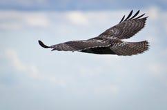 Rot-Angebundener Falke, der im bewölkten Himmel ansteigt Stockfotos