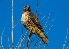 Rot angebundener Falke, Sacramento-Staatsangehörig-Schutzgebiet lizenzfreie stockfotos