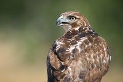 Rot angebundener Hawk Bird des Opfers Lizenzfreies Stockbild
