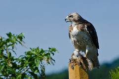 Rot-angebundener Hawk With Captured Prey Stockbild