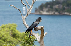 Rot angebundener schwarzer Cockatoo stockfoto