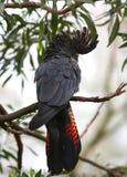 Rot-angebundener schwarzer Kakadu Stockbilder