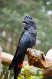 Rot-angebundener schwarzer Kakadumann Stockbilder