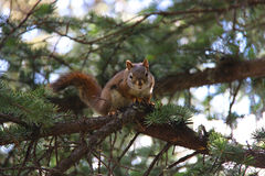 Rot-angebundenes Eichhörnchen Stockfotos