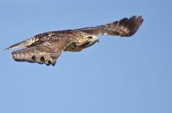Rot-Angebundenes Falke-Flugwesen im blauen Himmel stockfotos
