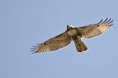 Rot-Angebundenes Falke-Flugwesen im blauen Himmel lizenzfreie stockbilder