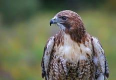 Rot-Angebundenes Falke-Profil Lizenzfreie Stockbilder