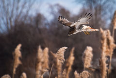 Rot-Angebundenes Falke-Tauchen auf Opfer Lizenzfreie Stockbilder