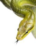 Rot-angebundenes grünes Ratsnake - Gonyosoma oxycephalum Lizenzfreie Stockfotografie