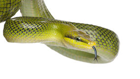 Rot-angebundenes grünes Ratsnake - Gonyosoma oxycephalum Lizenzfreie Stockfotos