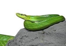 Rot-angebundenes grünes Ratsnake umwickelt auf den Felsen auf weißem Hintergrund lizenzfreies stockbild