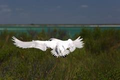 Rot-angebundenes Tropicbird Stockfotos