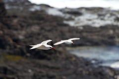 Rot-angebundenes Tropicbird-Phaethon rubricauda stockfotos