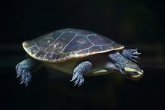 Rot-aufgeblähte kurzhalsige Schildkröte (Emydura-subglobosa) Lizenzfreie Stockfotografie