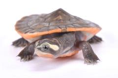 Rot-aufgeblähte Schildkröte des kurzen Halses, Emydura-subglobosa Stockbilder