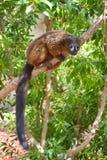 Rot-aufgeblähter Lemur, der an einem Baumzweig hängt Stockfotos