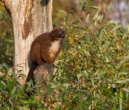 Rot-aufgeblähter Maki in einem Baum Lizenzfreies Stockfoto