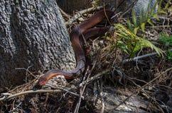 Rot-aufgeblähtes Watersnake in Okefenokee-Sumpf Stockfotografie