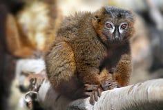 Rot-aufgeblähter Lemur Lizenzfreies Stockfoto