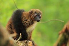 Rot-aufgeblähter Lemur Stockfotografie