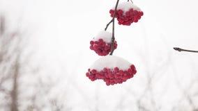 Rot bündelt die Winterniederlassung der Eberesche umfasst mit dem ersten Schnee Lizenzfreie Stockfotografie