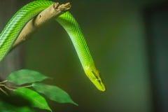 Rot band grüne Ratten-Schlange (Gonyosoma-oxycephalum) auf der Niederlassung an Lizenzfreies Stockfoto