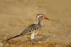Rot-berechneter Hornbill Stockfotos