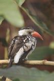 Rot-berechneter Hornbill Lizenzfreie Stockfotos