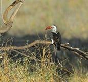 Rot-berechneter Hornbill Stockbild