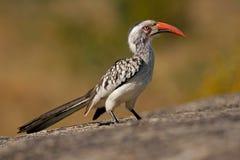 Rot-berechneter Hornbill Stockfotografie