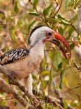 Rot-berechneter Hornbill mit Frucht Stockbilder
