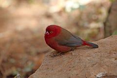 Rot-berechnetes Firefinch Stockfoto