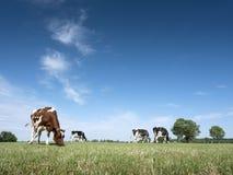 Rot beschmutzte Kuh mit Schwarzem eine und Bäume im Hintergrund lässt in der grünen grasartigen Wiese weiden lizenzfreies stockfoto