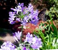 Rot - beschmutzte purpurrote Admiral Butterfly Limenitis arthenmis Stockbild