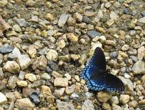 Rot beschmutzte purpurroten Schmetterling auf Sand und Steinen lizenzfreie stockfotos