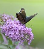 Rot-beschmutzter purpurroter Admiral Butterfly Stockfotografie