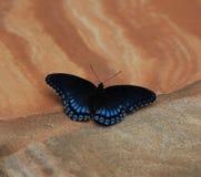 Rot beschmutzter purpurroter Admiral Butterfly Stockbilder
