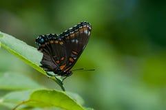 Rot-beschmutzter purpurroter Schmetterling Stockfotografie