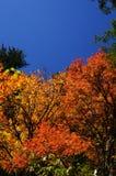 Rot-Blätter Stockfotografie