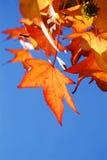 Rot-Blätter Stockfoto
