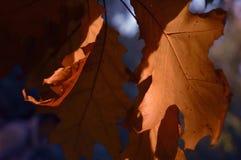 Rot-Blätter Lizenzfreie Stockbilder