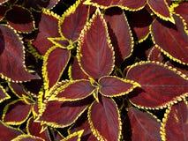 Rot-Blätter Lizenzfreies Stockfoto