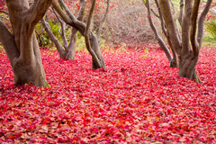 Rot-Blätter auf dem Waldfußboden Stockfoto