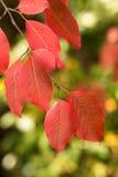 Rot-Blätter auf Niederlassung mit Bokeh im Herbst Stockbilder