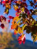 Rot-Blätter im Fall Stockfoto